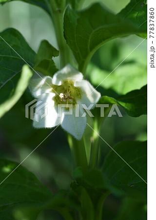 ホオズキの花 77837860