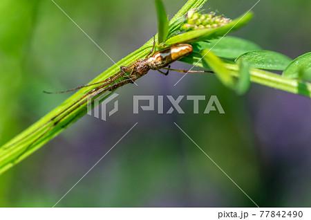 草の裏に身を隠すアシナガグモ 77842490
