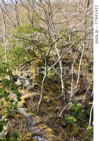 マメザクラ咲く縦走路 丹沢山地の雨山 77843422