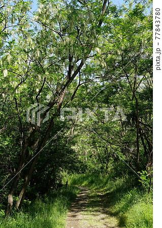 5月 稲城496ニセアカシアの林(新緑)・多摩川河川敷 77843780