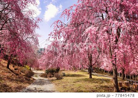 高見の郷に咲き誇る枝垂桜と一本道 77845478