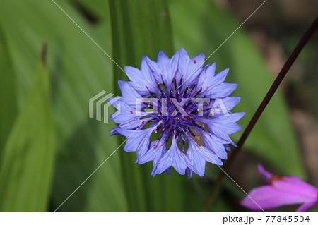 春の庭に咲くヤグルマギクの青紫色の花 77845504