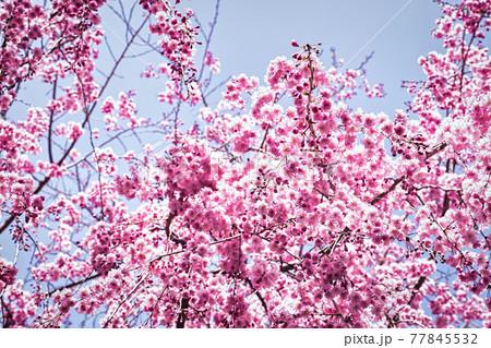 高見の郷に咲き誇る枝垂桜をアップで撮影 77845532