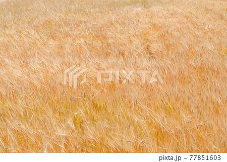 収穫を待つ大麦畑〈群馬県伊勢崎市〉 77851603