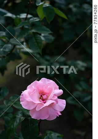 明るい日差しの中のバラ、クイーンエリザベスのクローズアップ 77854260