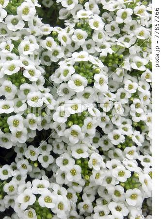 一面の白い小花 スイートアリッサム 77857266