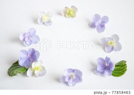 かわいい紫陽花の花びらのフレーム 77858463