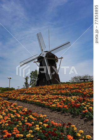 花博記念公園鶴見緑地の風車とマリーゴールド 77858895
