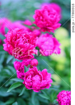 鮮やかに咲き乱れる深いピンクの芍薬 77860916