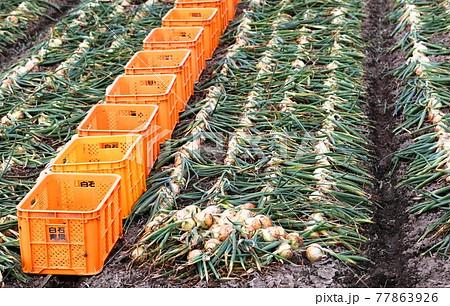 佐賀県杵島郡白石町タマネギの収穫 77863926