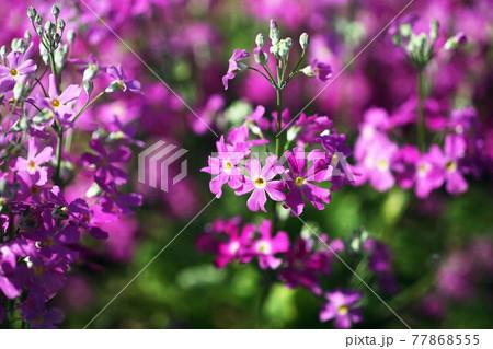 花盛り、プリムラ・マラコイデス  77868555
