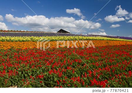 夏の北海道 かんのファームの花畑 77870421