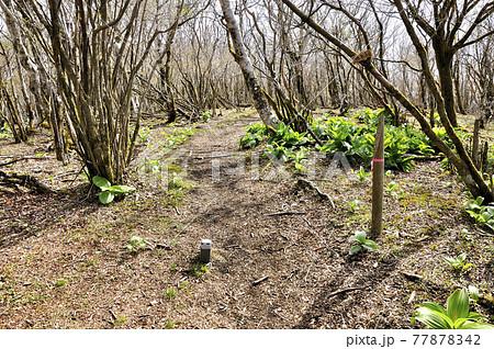 三国山ハイキングコースの道 早春の三国山稜の楢木山山頂 77878342