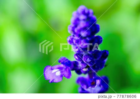 ブルーサルビアの花(マクロ撮影) 77878606