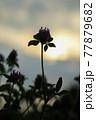 夕焼けを背景に咲いている花 77879682
