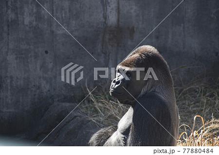 檻の中で遠くを見つめる一頭のゴリラ 77880484