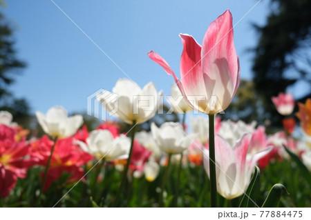 青空を見上げる春の花ピンクのチューリップ 77884475