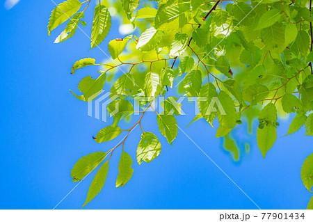 新緑と青空 【長野県】 77901434