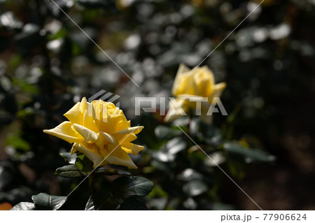 逆光の中で輝く黄色いバラと暗背景のコピースペース 77906624