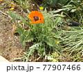 ひなげしのオレンジ色の花 77907466