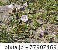 浜辺を彩る桃色の花はハマヒルガオの花 77907469