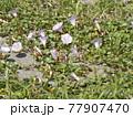 浜辺を彩る桃色の花はハマヒルガオの花 77907470