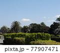 大きいヤシの木の有る稲毛海浜公園入口通路の青空と白い雲 77907471