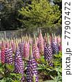 昇藤とも言われるルピナスの青色と桃色の花 77907472