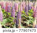昇藤とも言われるルピナスの青色と桃色の花 77907473