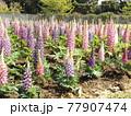 昇藤とも言われるルピナスの青色と桃色の花 77907474