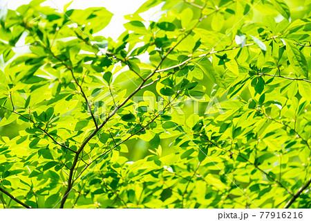 新緑、イメージ写真 77916216