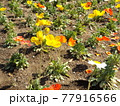 黄色とオレンジ色のポピーの花 77916566