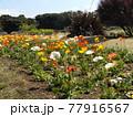 白色と黄色とオレンジ色のポピーの花 77916567