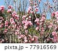 桃色の花は花桃の花 77916569