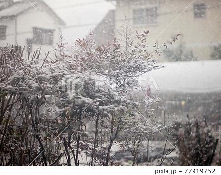 ナンテンの木と降り積む雪(高知市に降った初雪'21) 77919752
