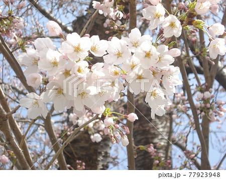 ピンク色の桜 77923948