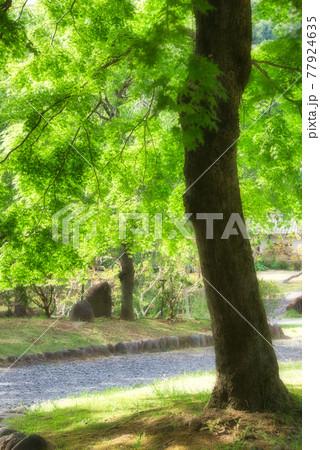 美しい青葉を伸ばした、大きなモミジの木 77924635