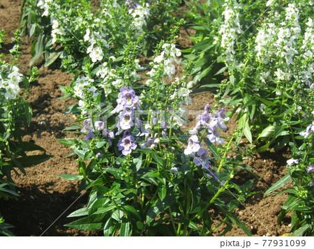アンゲロニアセレニータの薄紫色と白色の花 77931099