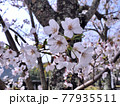 神奈川県 丹沢湖 三保ダムのサクラ7 77935511