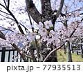 神奈川県 丹沢湖 三保ダムのサクラ8 77935513