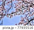 神奈川県 丹沢湖 三保ダムのサクラ9 77935516
