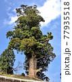 神奈川県 西丹沢の箒スギ1 推定樹齢2000年以上 国指定天然記念物 77935518