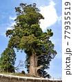神奈川県 西丹沢の箒スギ2 推定樹齢2000年以上 国指定天然記念物 77935519
