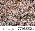 神奈川県 西丹沢のヤマザクラ1 77935521