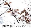 神奈川県 西丹沢のヤマザクラ4 77935526