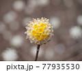 神奈川県 西丹沢 ミツマタの花 77935530