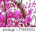 神奈川県 西丹沢 ミツバツツジ1 77935531