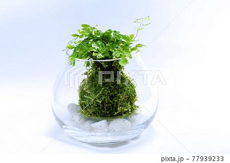 白バックにアジアンタムを植え付けた苔玉のテラリウム 77939233