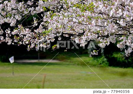 満開の桜とゲートボールの風景 77940356