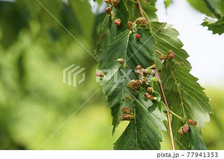 寄生虫で異常成長してできた赤い虫コブ 77941353